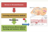Stress is bad for your brain! Melatonin may help