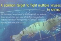 A common target to fight multiple viruses in shrimp